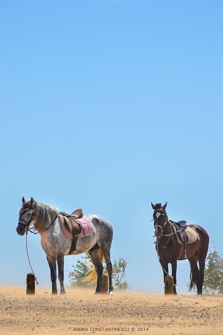 horses-in-essaouira
